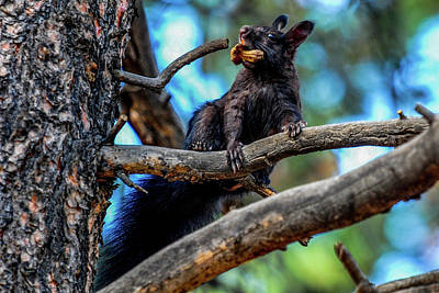 Photograph - Black Abert's Squirrel With Mushroom by Marilyn Burton