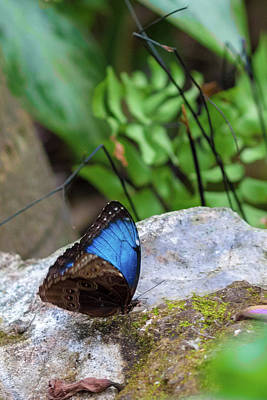 Photograph - Black And Blue Butterfly Eating by Raphael Lopez