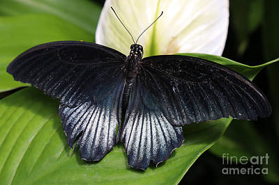 Curated Beach Towels - Black and Blue Butterfly by Sue Harper