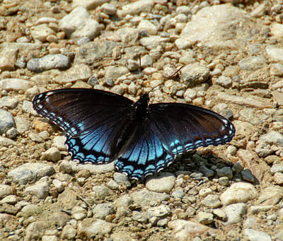 Black And Blue Monarch Butterfly Art Print