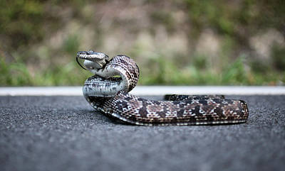 Photograph - Black And Grey Rat Snake Mix by JC Findley