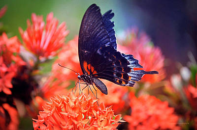 Photograph - Black And Orange Butterfly by Maria Angelica Maira