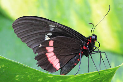 Photograph - Black And Red Butterfly by Angela Murdock
