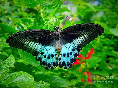 Photograph - Black And Turquoise Butterfly by Anne Sands