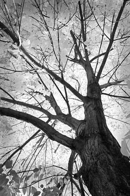 Black And White Autumn Tree  Art Print by James BO  Insogna
