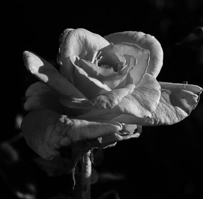 Photograph - Black And White Beauty by Laurel Powell