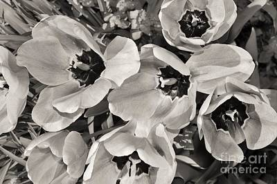 Photograph - Tulips by Beverly Ann Shelby