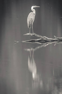 Photograph - Black And White Blue Heron Reflection by Dan Sproul