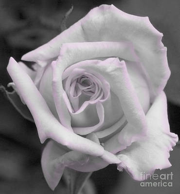 Photograph - Black And White Blush Rose by Jim And Emily Bush