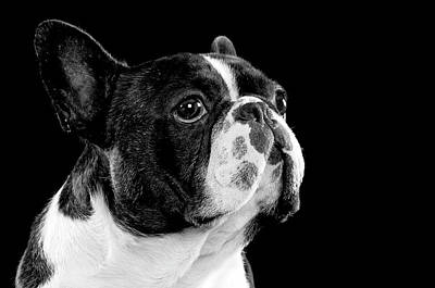 French Bull Dog Wall Art - Photograph - Black And White Bull Dog by Hugo Orantes