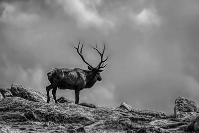 Photograph - Black And White Bull Elk On The Top Of The Rockies by Dan Sproul