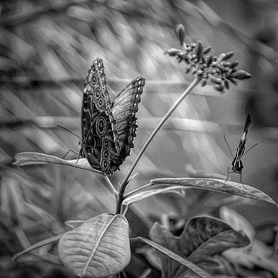 Photograph - Black And White Butterflies On Leaves by Aimee L Maher Photography and Art Visit ALMGallerydotcom