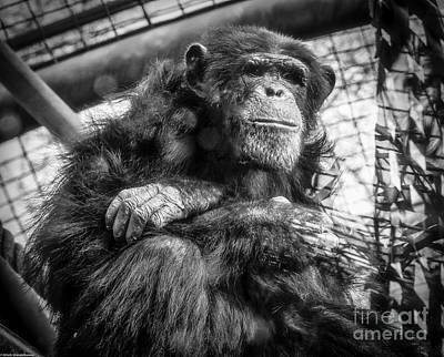 Photograph - Black And White Chimp by Mitch Shindelbower