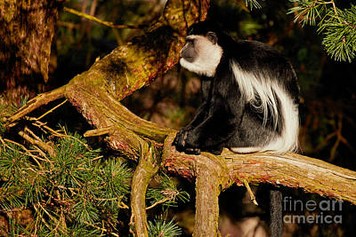 Photograph - Black And White Colobus Monkey by Nick Biemans