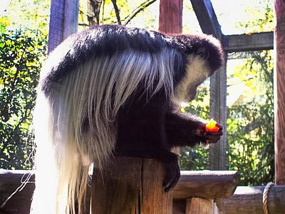 Photograph - Black And White Colobus Monkey by Shawna Rowe