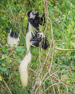Nuture Photograph - Black-and-white Colobus Mother And Baby by Morris Finkelstein