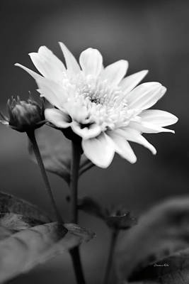 Photograph - Black And White Coreopsis Flower by Christina Rollo