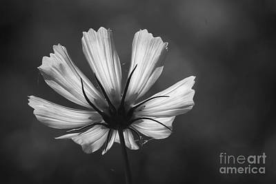 Photograph - Black And White Cosmos by Jim and Emily Bush