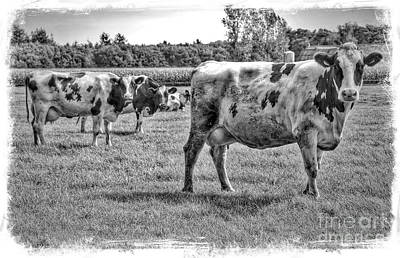 Photograph - Black And White Cows In Black And White With Border by Carol Groenen