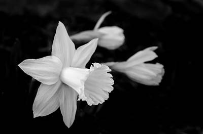Photograph - Black And White Daffodils by Cora Ahearn