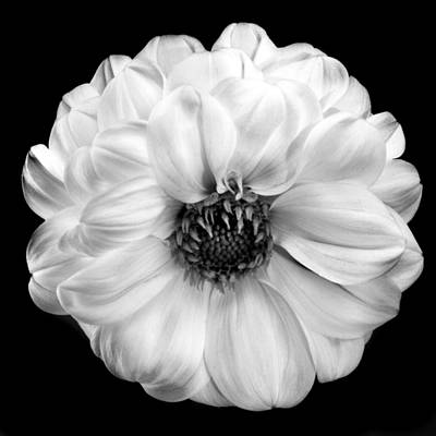 Photograph - Black And White Dahlia by Terence Davis