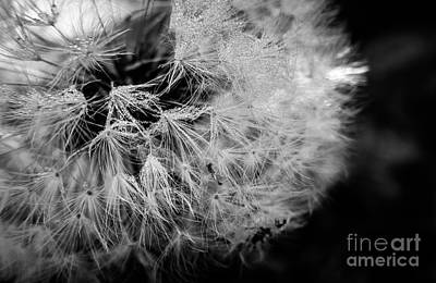 Photograph - Black And White Dandelion Dew Drops by Cheryl Baxter