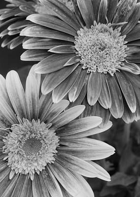 Gerber Daisy Photograph - Black And White Gerber Daisies 2 by Amy Fose