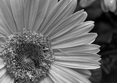 Gerber Daisy Photograph - Black And White Gerber Daisy 5 by Amy Fose