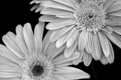 Gerbera Daisy Digital Art - Black And White Gerbera Daisies 1 by Amy Fose