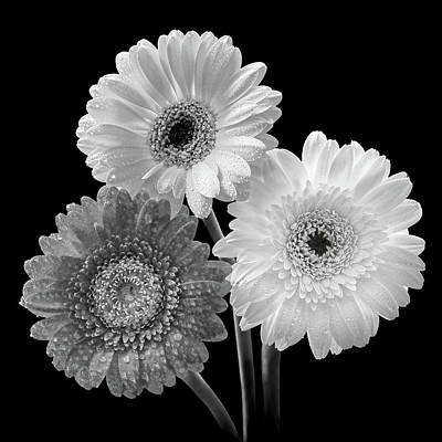 Photograph - Black And White Gerbera Daisies by Gill Billington