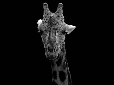 Photograph -  Black And White Giraffe 000 A by Chris Mercer