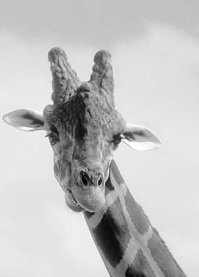Photograph - Black And White Giraffe Portrait by Rosalie Scanlon