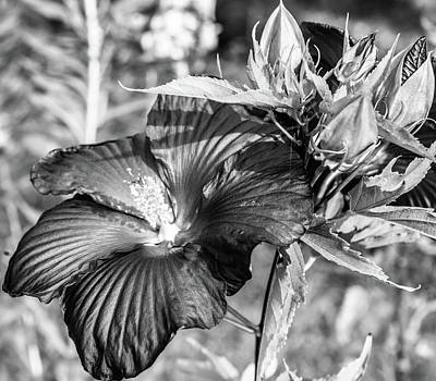 Queen - Black and White Hibiscus by Sherman Perry