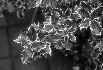 Photograph - Black And White Holly by Cate Franklyn