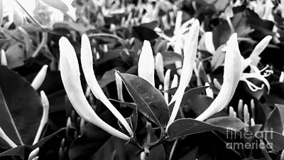 Photograph - Black And White Honeysuckle Buds by Rachel Hannah