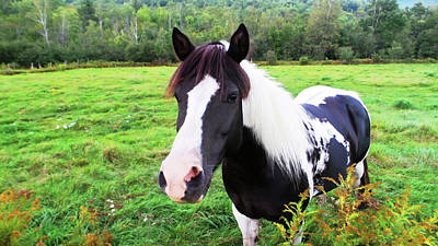 Photograph - Black And White Horse-natural Setting by Mike Breau