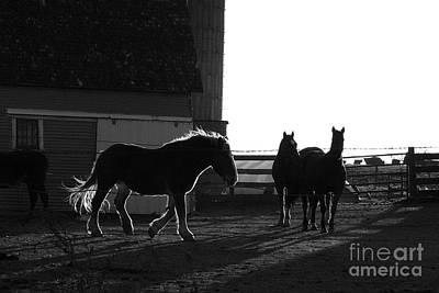 Photograph - Black And White Horses by Julie Lueders
