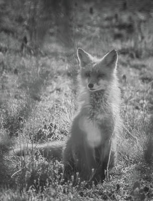 Photograph - Black And White Image  Female Fox by Bruce Pritchett