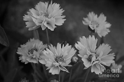 Photograph - Black And White In The Daisy Family by Kay Novy