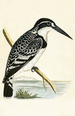 Black And White Kingfisher Print by English School