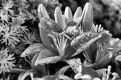 Photograph - Black And White Lily by Debra Baldwin