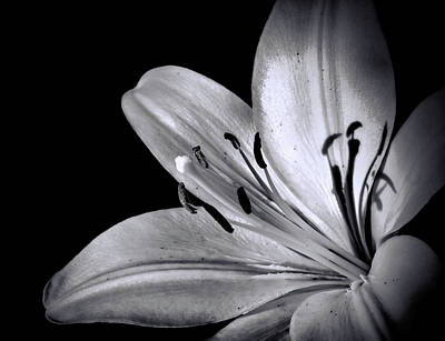 Photograph - Black And White Lily by Lilia D
