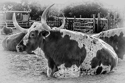 Cattle Drive Photograph - Black And White Longhorn by Kelley King