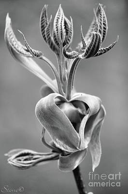 Photograph - Black And White Magnolia  by September Stone
