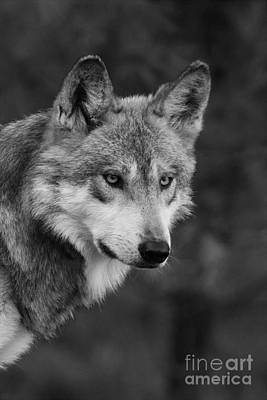 Photograph - Black And White Mexican Wolf #4 by Judy Whitton