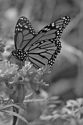Photograph - Black And White Monarch Butterfly And Marigold Flower by Kay Novy