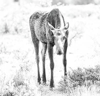 Photograph - Black And White Moose by Dan Sproul