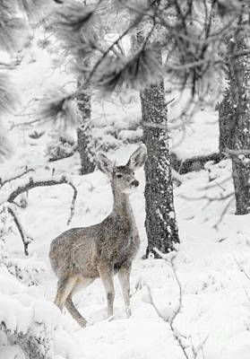 Steve Krull Royalty-Free and Rights-Managed Images - Black and White Mule Deer in Heavy Snowfall by Steve Krull