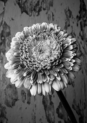 Gerbera Daisy Photograph - Black And White Mum by Garry Gay