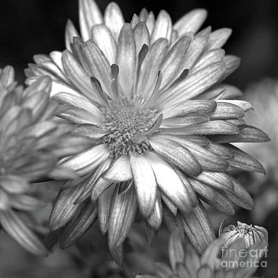 Photograph - Black And White Mum by Mary Haber
